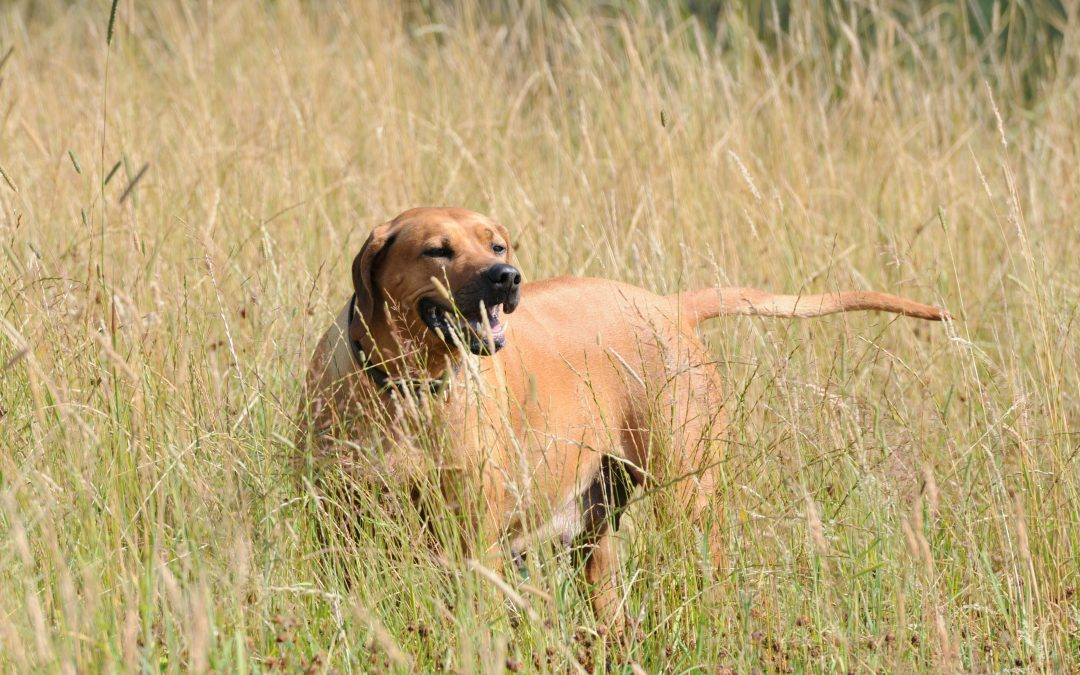 Things To Know About Rhodesian Ridgeback
