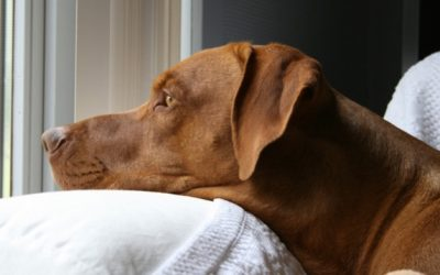 Is Rhodesian Ridgeback Right For You?